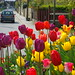 Tulips in the middle of the road