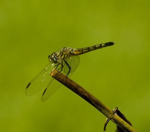 Dragon Fly against Sea of Green Bokeh