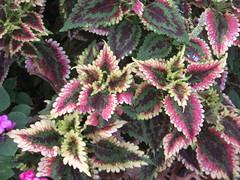 annual plant, shrub, flower, plant, herb, flora, perilla frutescens, perilla,
