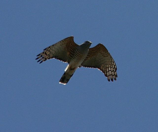 Header of African cuckoo
