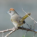 Green-tailed Towhee - Photo (c) Jerry Oldenettel, some rights reserved (CC BY-NC-SA)