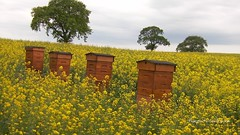 hives in field