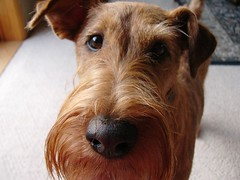 dog breed, animal, dog, pet, mammal, lakeland terrier, welsh terrier, irish terrier, close-up, terrier, airedale terrier,