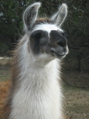 pasture(0.0), alpaca(1.0), animal(1.0), mammal(1.0), llama(1.0), fauna(1.0), guanaco(1.0),