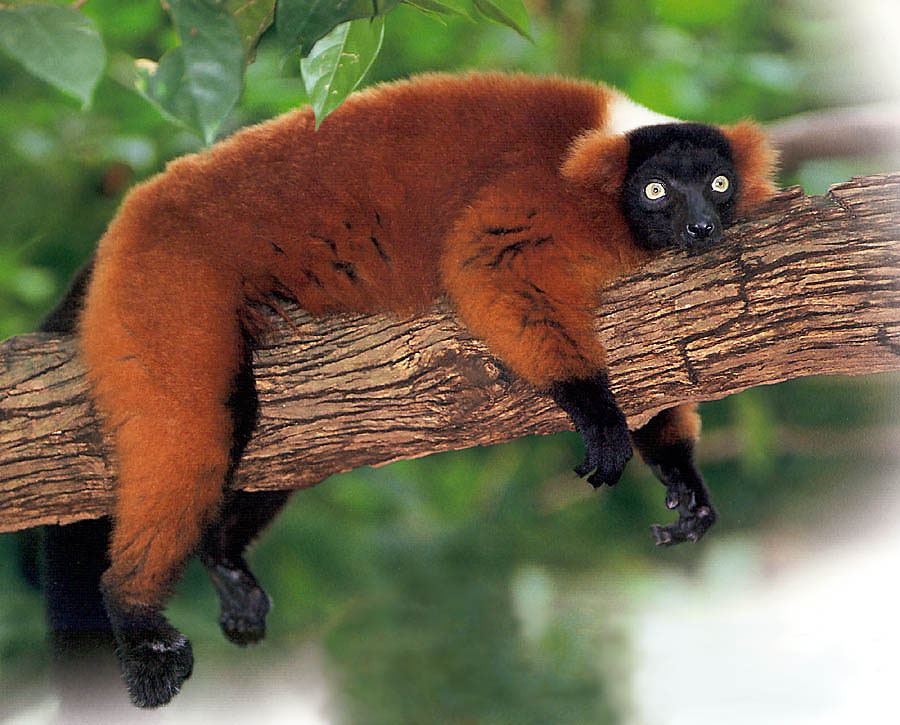 Madagascar Ruffed Lemur