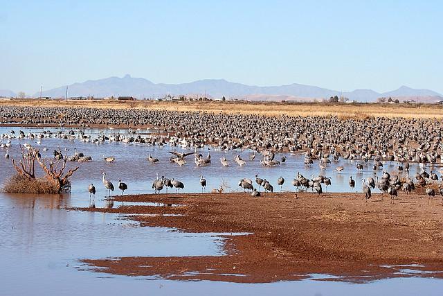Sandhills at Whitewater Draw Wildlife Area