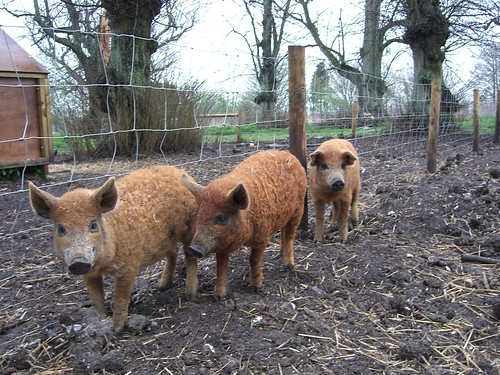 Red curly-coated mangalitzas