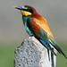 Abelharuco (Merops apiaster ) by Joaquim Antunes