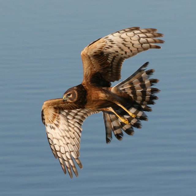 Northern Harrier-IMG_1671-MV baylands-Crop