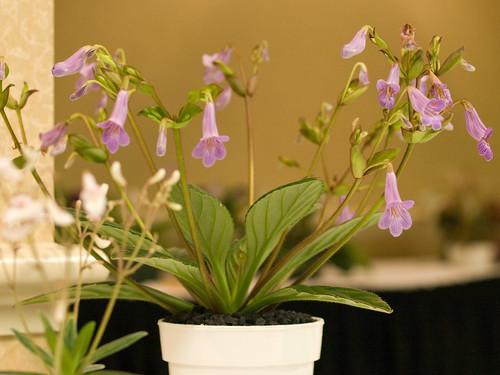 Chirita sinensis x longgangensis
