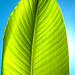 Banana Leaf by mechaghost