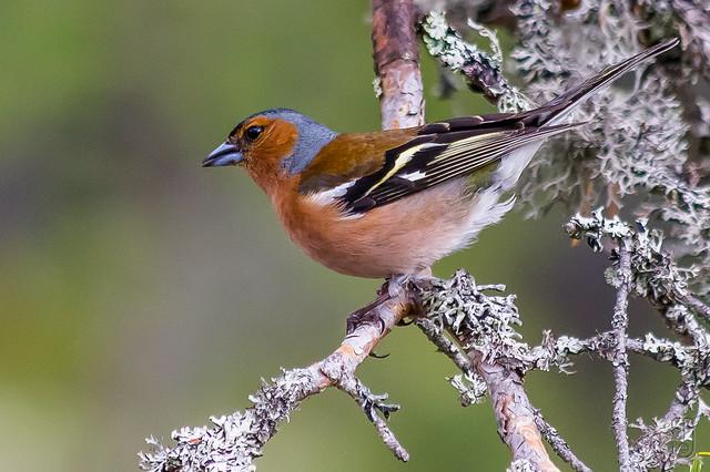Chaffinch (Fringilla coelebs), male-8137