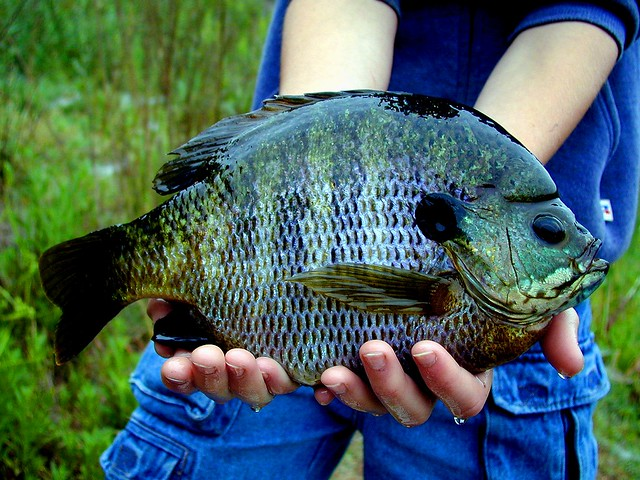 Monster bluegill flickr photo sharing for Sunfish in a backyard pond