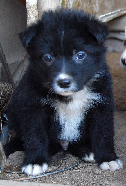 Sweet Adorable Cute Puppy Border Collie