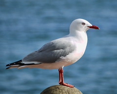 albatross(0.0), great black-backed gull(0.0), european herring gull(0.0), redshank(0.0), animal(1.0), charadriiformes(1.0), fauna(1.0), gull(1.0), shorebird(1.0), beak(1.0), bird(1.0), seabird(1.0),