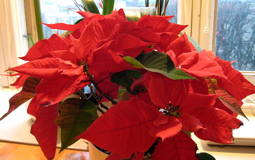 My poinsettia by Anna Amnell