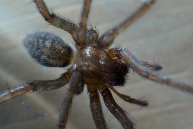 Spider fangs left in skin