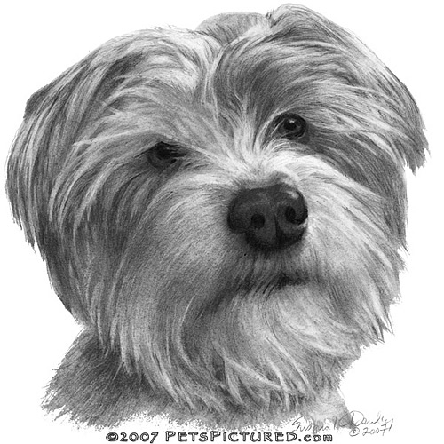 biscuit shih tzucairn terrier mix flickr photo sharing