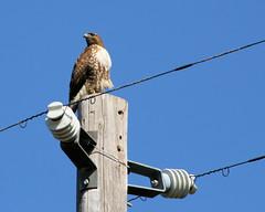 Electric Hawk