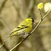 siskin in spring plumage.......with matching pussy willow
