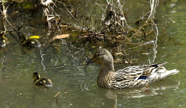 New Freedom Ducks