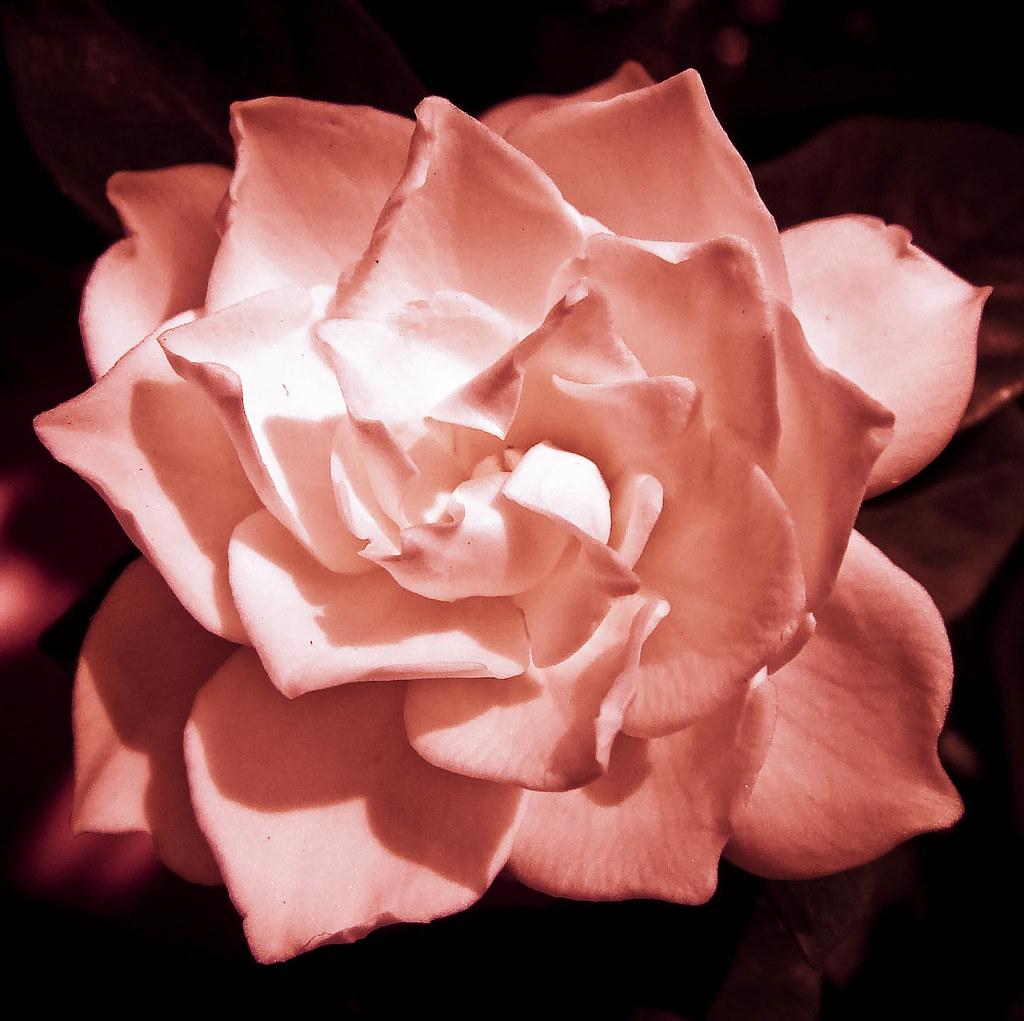 on black pink gardenia????? by kirstiejoy [large], Beautiful flower