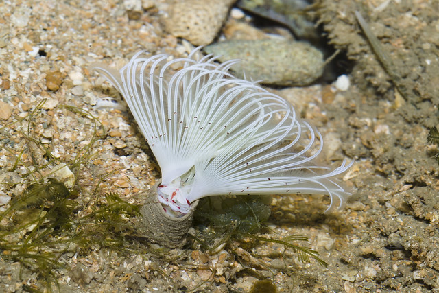 White spiral fanworm (Family Sabellidae)