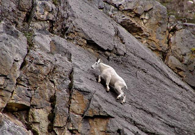 Mountain Goat climbing, Jasper NP