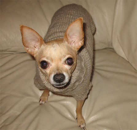 chihuahua sweater patterns catalog of patterns. Black Bedroom Furniture Sets. Home Design Ideas