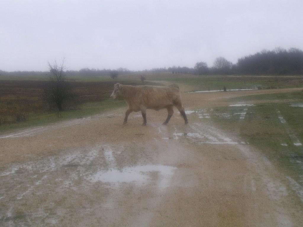 Cow...er..bull Greenham Common. Newbury Racecourse to Woolhampton