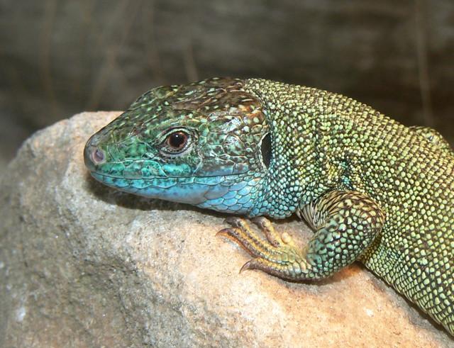 green lizard close up