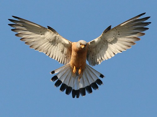 Angered Lesser Kestrel. Kos, Greece.