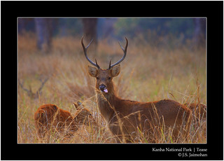 Kanha National Park | Tease