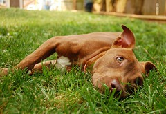 Chyna the Pit Bull Terrier mix! - Paws n' Time Rescue (Lancaster, PA)