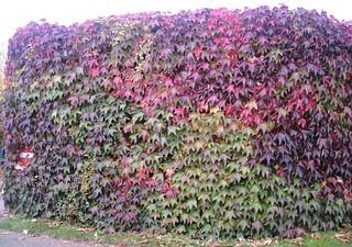 Giant hedge