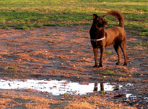 california dog grass puddle mud redding garth chowmix coshow