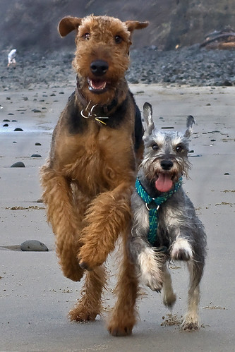 Airedale Terrier Breed | Airedale Terrier Temperament ...