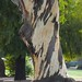 Small photo of Eucalyptus Tree Trunk