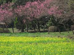 Peach and Wild turnip / 桃(もも)と菜の花(なのはな)