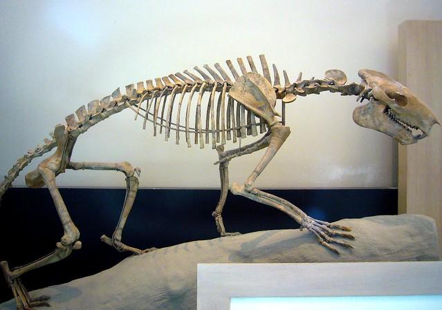 Agriochoerus antiquus (wild pig) skeleton | Flickr - Photo ...