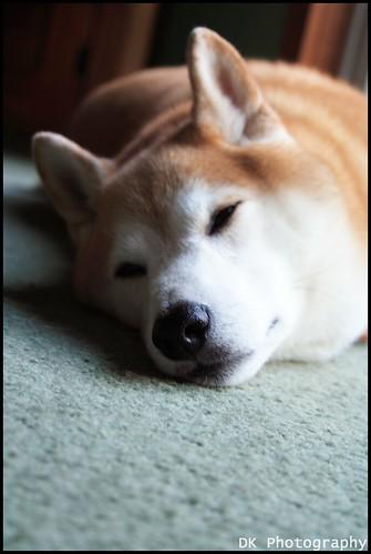 Shiba Inu by Dan Keator Photography