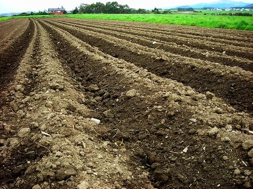 Huerto familiar cultivo de la patata felix maocho for Como cultivar patatas