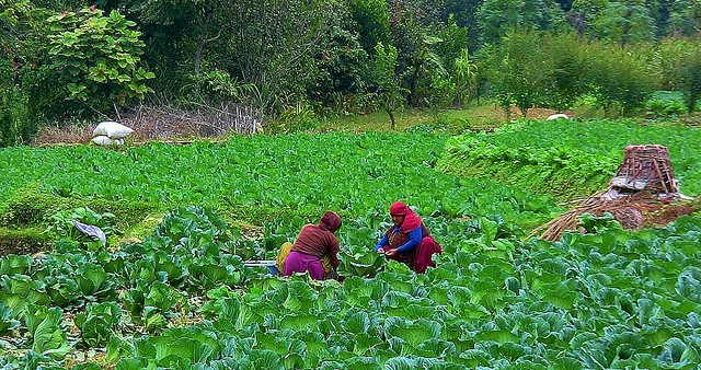 NEPAL, unterwegs  nach Pokhara, im Gemüsefeld , 15227/7927
