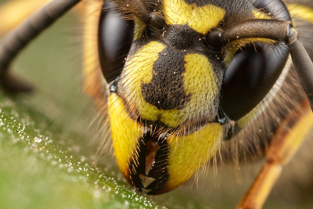 Wasp QueenQueen Wasp Size