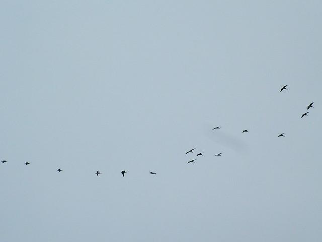 DSCF3390 Pelicans in formation
