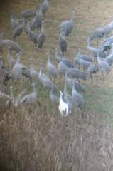 Whooping Crane 1