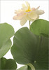 Lotus Flower - IMGP2799 Lotus Flower