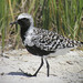 Grey Plover - Photo (c) Len Blumin, some rights reserved (CC BY-NC-ND)