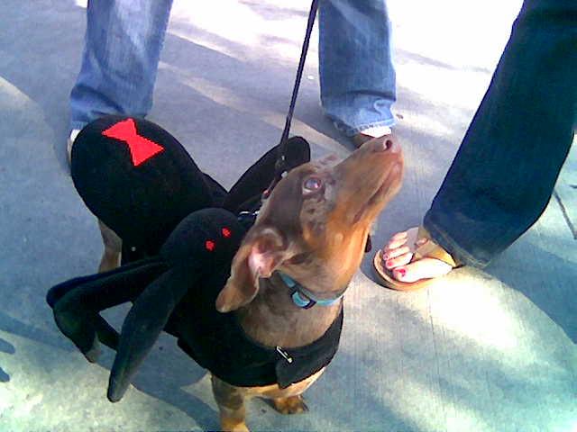 Black Widow Bite Dog Symptoms Black Widow Bites On D...