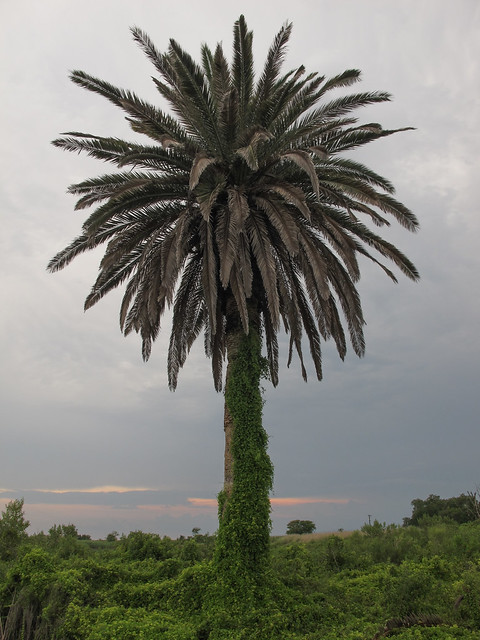 Integration of the vine-choked South and the palmtree South.